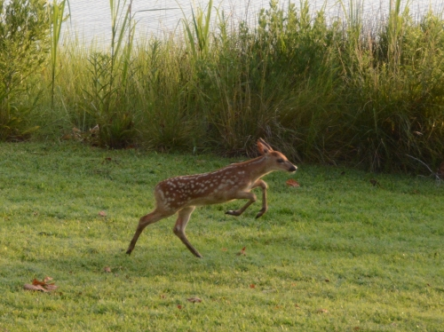 fawn leaping 6-26-2016 6-26-37 AM