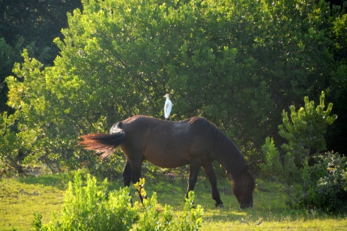 horse and cattle egret 7-24-2016 7-57-37 AM