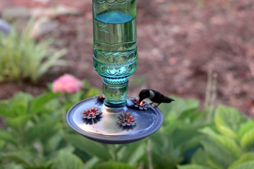 hummie at feeder 7-24-2016 8-12-48 PM