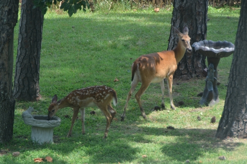 mom and fawn 7-25-2016 12-50-18 PM