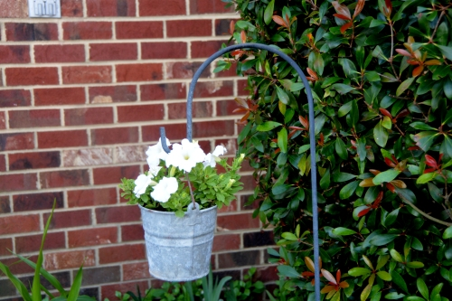 old bucket white petunias 7-19-2016 5-52-30 PM