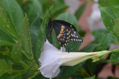 butterfly2 8-2-2016 4-09-35 PM