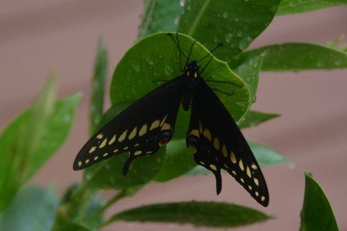 butterfly3 8-2-2016 4-10-46 PM