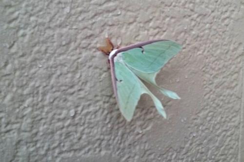 luna moth-001