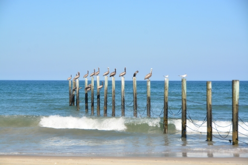 pelicans on fence posts 7-18-2016 4-47-08 PM