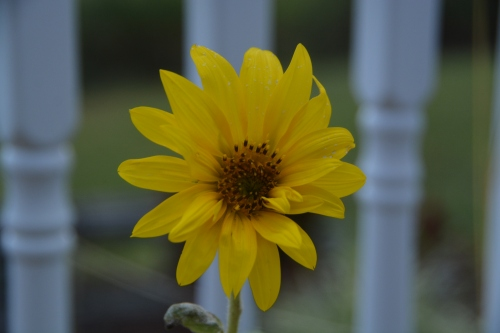 sunflower-best-9-7-2016-7-05-09-am