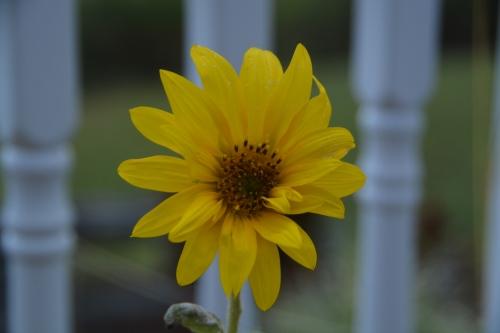 sunflower-best-9-7-2016-7-05-09-am