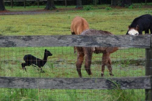 baby-alpaca-10-9-2016-9-49-07-am