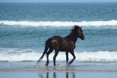 stallion-running-by-the-ocean-5-25-2016-4-10-011