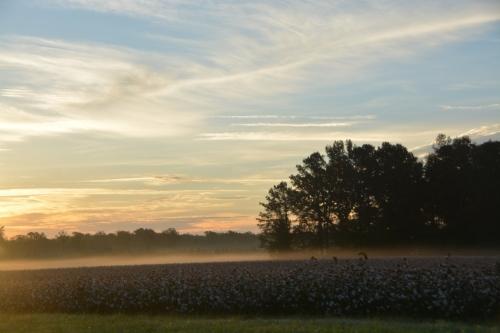 sunrise-cotton-field-10-15-2016-7-31-07-am