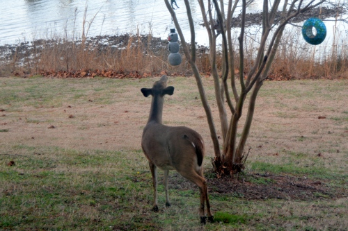 deer-and-birdfeeder-1-12-2017-4-13-59-pm