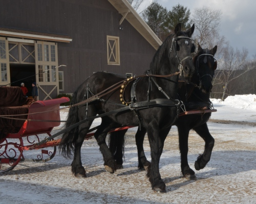 friesians-with-the-sleigh-1-29-2017-10-10-07-am