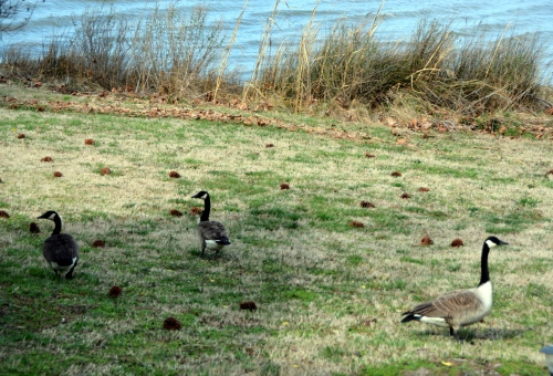 geese-3-1-2017-2-38-20-pm